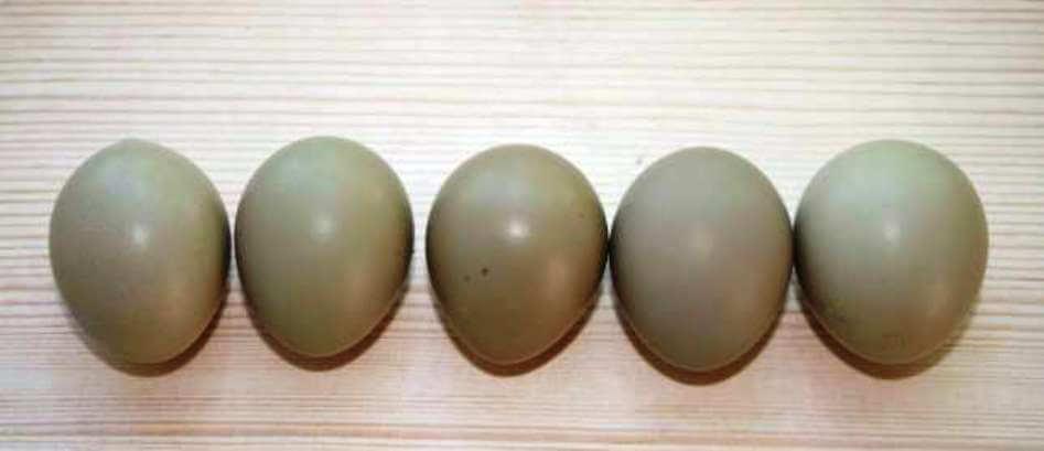 Экзотика на столе — фазаньи яйца