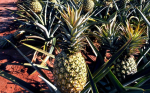 Что можно приготовить из свежего ананаса быстро и вкусно