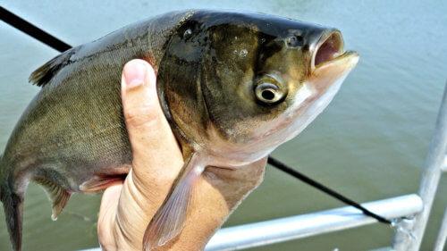 Толстолобик - пресноводная рыба
